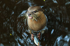 An oriental small-clawed otter , Aonyx cinerea, Asian small-clawed otter. Royalty Free Stock Photography