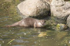 Oriental small clawed otter, aonyx cinerea. Sitting on the stone near water Royalty Free Stock Image