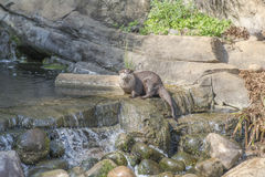 Oriental small clawed otter, aonyx cinerea. Sitting on a stone in the water Royalty Free Stock Image