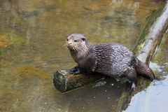 Oriental small-clawed otter Stock Images