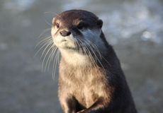 Oriental small-clawed otter close Stock Photo