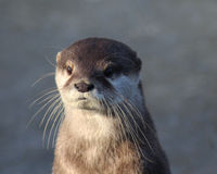 Oriental small-clawed otter close Stock Photos