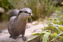 Oriental Small-clawed Otter Stock Photo