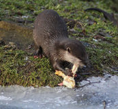 Oriental small-clawed otter eating Royalty Free Stock Photography