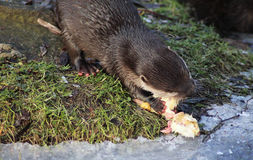 Oriental small-clawed otter eating Royalty Free Stock Image