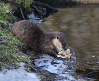 Oriental small-clawed otter eating Stock Photo