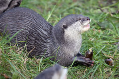 Oriental Small Clawed Otter Royalty Free Stock Photography