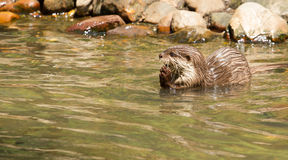 Oriental Small-Clawed Otter foraging Royalty Free Stock Images