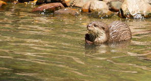 Oriental Small-Clawed Otter foraging Royalty Free Stock Photos