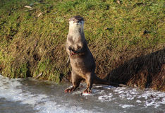 Oriental small-clawed otter on ice Royalty Free Stock Photo