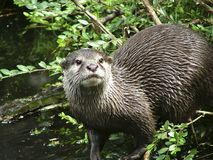 Zwergotter. Oriental small-clawed otter in the nature Stock Images