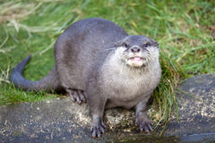 Oriental Small Clawed Otter Royalty Free Stock Photos