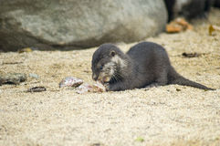 Oriental small-clawed otter puppy. A little otter puppy eating a fish on the sand royalty free stock images