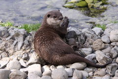 Oriental small clawed otter relaxing Stock Photos