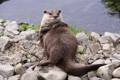 Oriental small clawed Otter Relaxing Royalty Free Stock Images