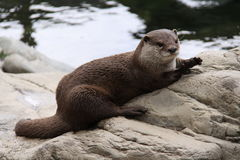 Oriental small clawed otter resting on a rock Stock Photography