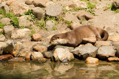 Oriental Small-Clawed Otter resting Stock Images
