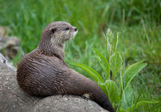 Oriental Small-Clawed Otter sitting on log Royalty Free Stock Photo
