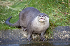 Oriental Small Clawed Otter Stock Image
