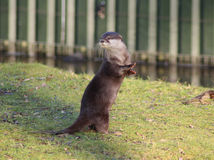 Oriental small-clawed otter Royalty Free Stock Photos