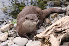 Oriental small clawed otter after a swim Stock Photography