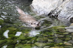 Oriental small clawed otter swimming Stock Photo