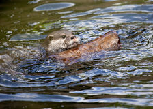 An Oriental Small Clawed Otter swimming with log Royalty Free Stock Image