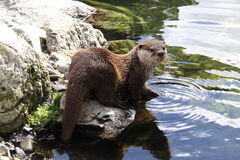 Oriental small clawed otter about to swim Stock Image