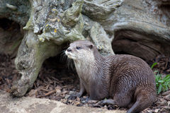Oriental Small-Clawed Otter by tree stump Stock Image