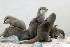 Oriental Small-clawed Otters Royalty Free Stock Images