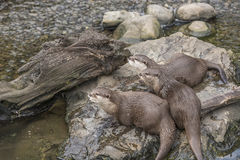 Oriental small clawed otters, aonyx cinerea. Three Oriental small clawed otters, aonyx cinerea sitting on the stone near water Stock Images