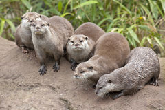 Oriental Small Clawed Otters Stock Image