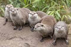 Oriental Small Clawed Otters Stock Photography