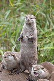 Oriental Small Clawed Otters Royalty Free Stock Photos