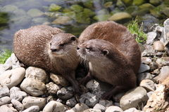 Oriental small clawed otters sunbathing Royalty Free Stock Photos