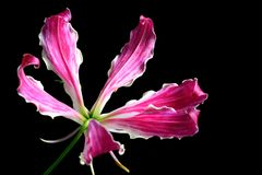 Oriental Star Lily. Close-up of exotic oriental star lily with black background stock photos