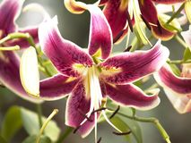 Oriental Stargazer Lilly Royalty Free Stock Photography