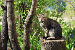 Oriental striped cat. Portrait in nature stock image
