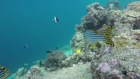 Oriental sweet-lip fish swimming in the coral reef. An oriental sweet-lip fish swimming in the coral reef stock footage