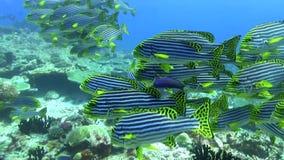 School of Oriental sweetlip Maldives stock video