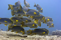 Oriental sweetlips. School of Tropical fishes Oriental sweetlips (Plectorhynchus Orientalis). Maldives. Indian ocean. Addu atoll stock image