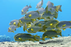 Oriental sweetlips Stock Photos