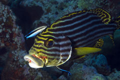 Oriental Sweetlips Stock Photography