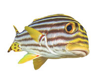 Oriental Sweetlips fish Royalty Free Stock Images