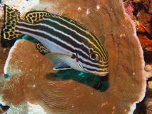 Oriental Sweetlips Royalty Free Stock Image
