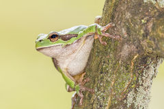 Oriental tree frog Royalty Free Stock Photography