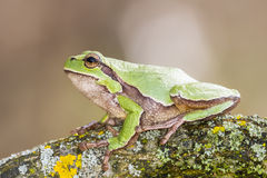 Oriental tree frog Royalty Free Stock Image