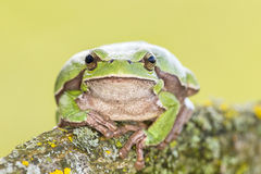 Oriental tree frog Royalty Free Stock Photo