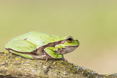 Oriental tree frog Stock Photo