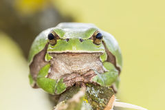 Oriental tree frog Royalty Free Stock Photos